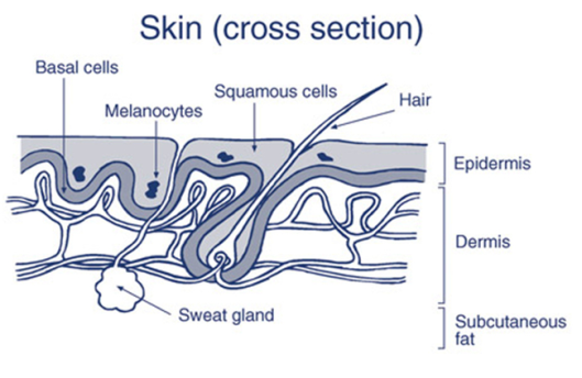 skin-cross-section