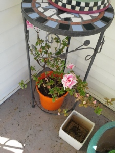 Scored this little azalea from one of the independant nurseries here on the coast.