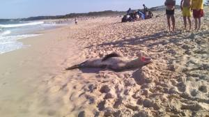 lepoard seal on beach 2