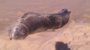 lepoard seal on beach