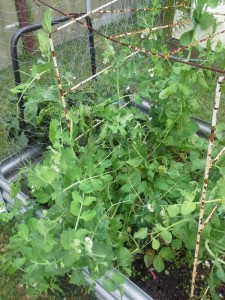 My peas flourishing!