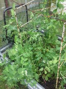My peas flourishing!