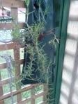"Carpobrotus rossii aka ""Pigs Face"" in my hanging garden"