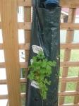 Italian Parsley...hanging garden bed!