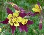 Aquilegia Mckanna Giants Mix Ideal For:     cottage gardens, wildlife gardens, cut flower garden