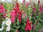Cottage garden favourite.  Good for borders, growing along walls or fences and as a cut flower.  Hollyhock-Chaters Double Attracts butterflies and bees.  Long flowering.