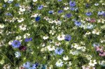Nigella 'Persian Jewels' 'Persian Jewels' series – is a mixture of shades of mauve, lavender, purple, rose, light blue and white double flowers.